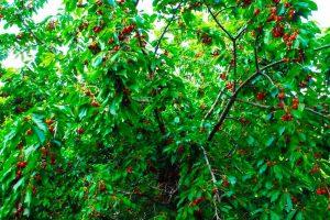 فروش باغ گیلاس 3000 متری در لواسان